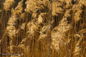 Roselière © photos-gaia.com